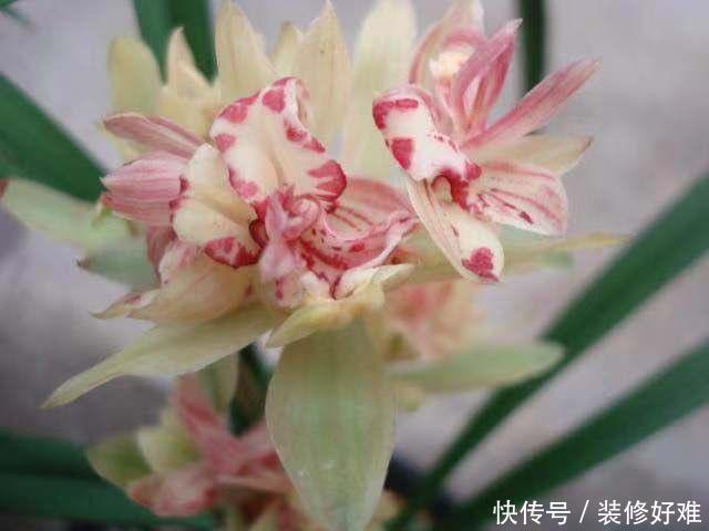 """最具""""震撼力""""的兰花,花色惊艳,花大浓香,一开就是一个月"""