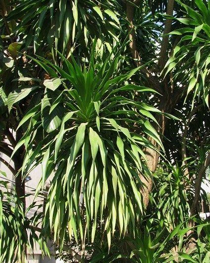 龙血树属植物共约150余种