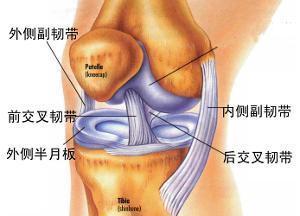 膝盖半月板损伤图片 膝盖半月板 膝盖半月板部位图