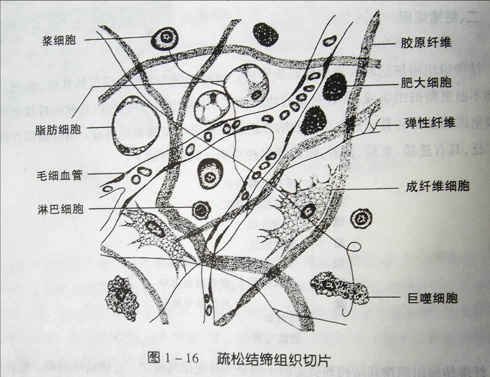 上皮组织的结构