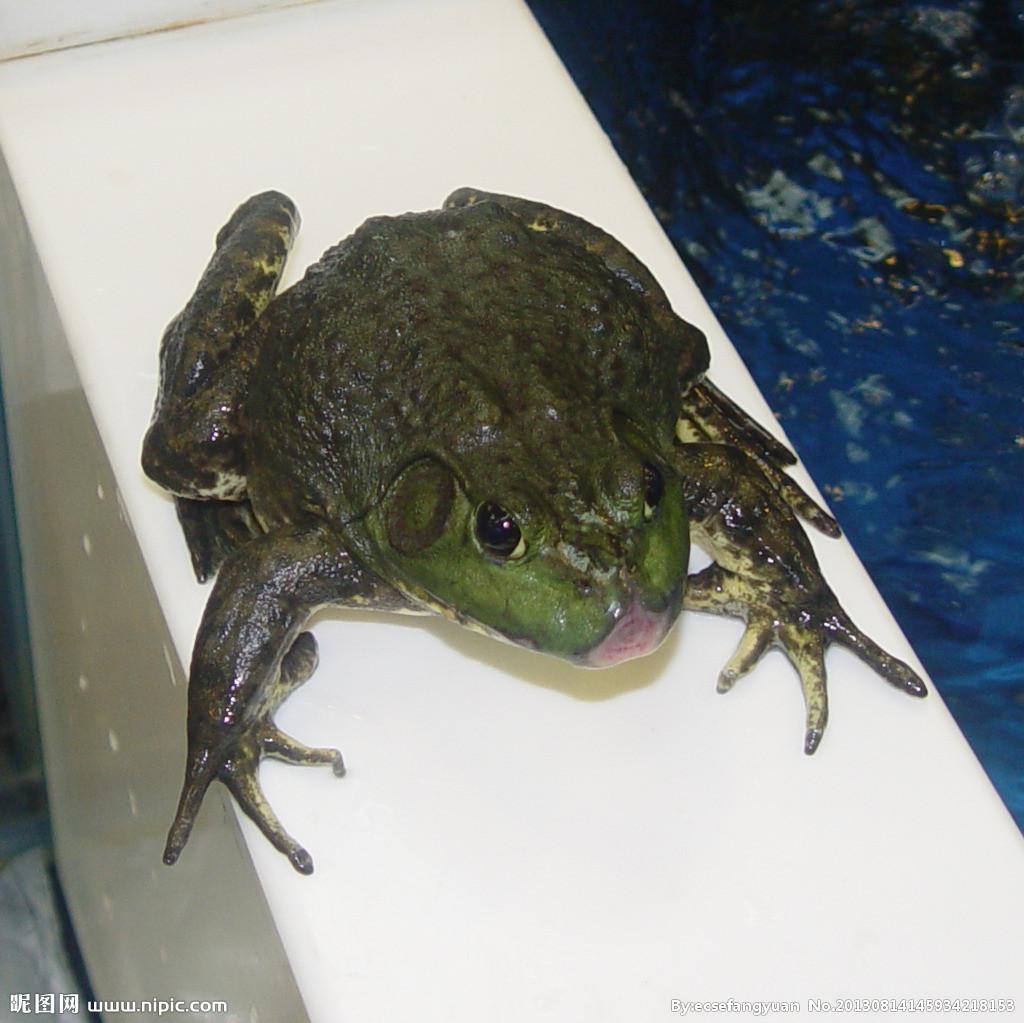 牛蛙的口咽腔手绘图