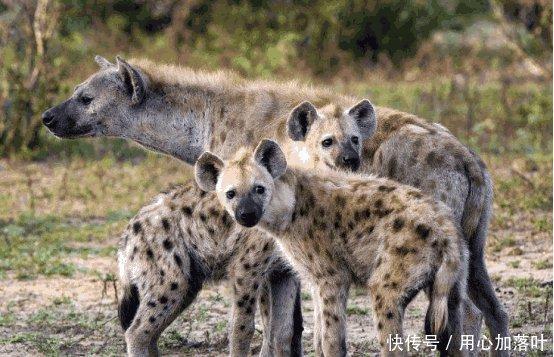 屋漏偏逢連夜雨受傷的花豹被鬣狗抓住,接下來
