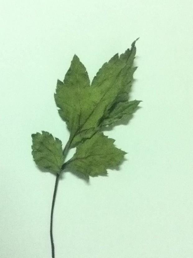 叶子呈三叶锯齿状图片