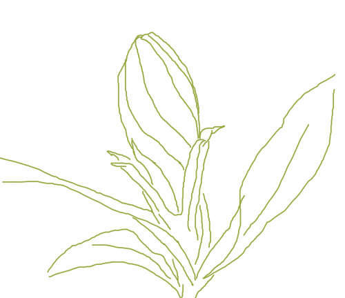 栀子花的花苞简笔画怎么画