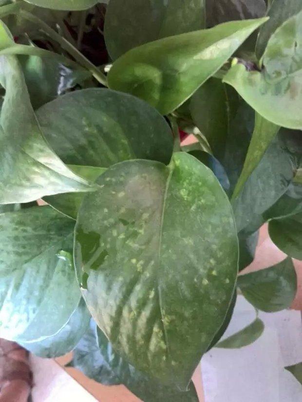 绿萝叶片出现黄色斑点