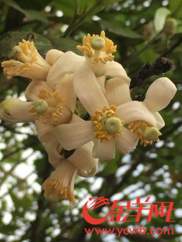 化州7万亩化橘红吐蕊争艳游人如织赏橘红花 2