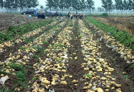 土豆种植步骤图