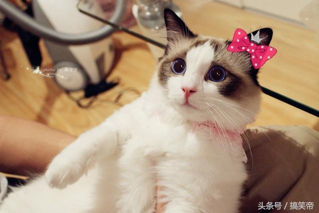 左手布偶猫,右手美娇娘,人生何求