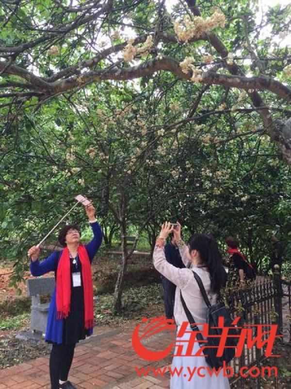化州7万亩化橘红吐蕊争艳游人如织赏橘红花 1