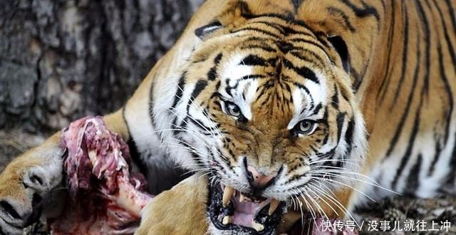 《老虎》为什么吃过人的老虎一定要杀死?