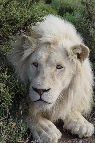 狮子动态壁纸(来自:)