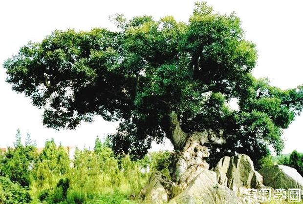 山东榆树品种图片