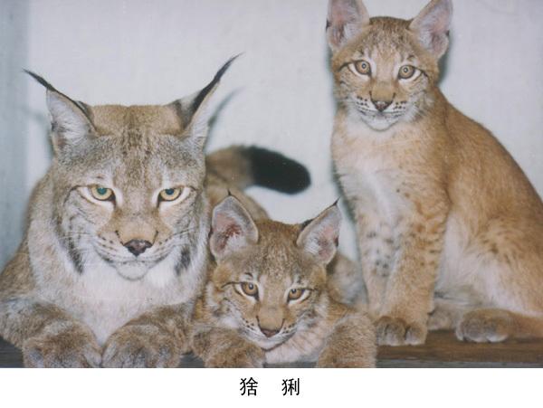 猞猁被列入国家二级保护动物