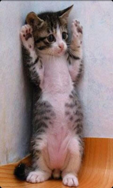 壁纸 动物 灵长目 猫 猫咪 小猫 桌面 480_800 竖版 竖屏 手机