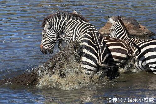 斑马过河被水中巨鳄伏击,鳄鱼一口咬住斑马后一转眼竟成了这结果